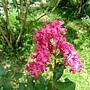 紫薇 1030722_02 青年公園.jpg