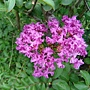 紫薇 1030722_08 青年公園.jpg