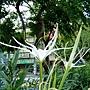 蜘蛛百合 10307241 雙和橋公園.jpg