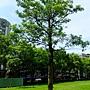 黑板樹 1030616_01 四號公園.jpg