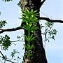 黑板樹 1030616_02 四號公園.jpg