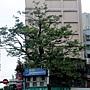 黑板樹(屋包樹) 1040209_2 林森南路.JPG