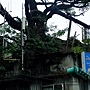 黑板樹(屋包樹) 1040209_3 林森南路.JPG