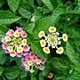 馬櫻丹 1030716_4 4號公園.jpg