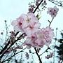 河津櫻 1050224_1 中和區公所前公園.jpg