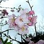 河津櫻 1050224_2 中和區公所前公園.jpg