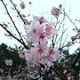 河津櫻 1050224_3 中和區公所前公園.jpg
