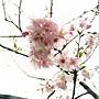 河津櫻 1050224_5 中和區公所前公園.jpg
