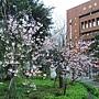 河津櫻 1050224_6 中和區公所前公園.jpg