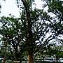 大葉桉-_04 1050212 榮星花園.JPG