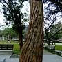 大葉桉-_05 1050212 榮星花園.JPG