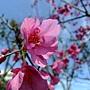 山櫻花 1050305 安邦公園_2.JPG