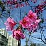 山櫻花 1050305 安邦公園_3.JPG