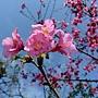 山櫻花 1050305 安邦公園_4.JPG