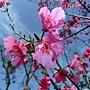 山櫻花 1050305 安邦公園_5.JPG