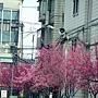 櫻花大道 1050305 台貿一村263巷_2.JPG