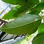 石栗 1050426_4 台北植物園.JPG