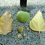 石栗 1050426_8 台北植物園.JPG