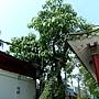 石栗 1050426_9 台北植物園.JPG