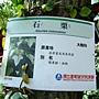 石栗 1050426_10 台北植物園.JPG