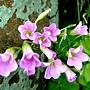 紫花酢漿草 1050426_1 台北植物園.JPG