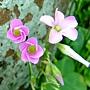 紫花酢漿草 1050426_2 台北植物園.JPG