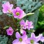 紫花酢漿草 1050426_3 台北植物園.JPG