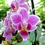 蝴蝶蘭 1050517_10.JPG