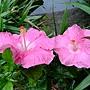 朱槿(克莉斯汀) 1050611_2 台北植物園.JPG