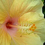 朱槿(美人笑) 1050611_2 台北植物園.JPG