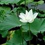 荷花 1050611_03 台北植物園.JPG