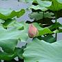 荷花 1050611_04 台北植物園.JPG