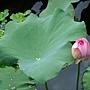 荷花 1050611_05 台北植物園.JPG