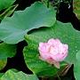 荷花 1050611_08 台北植物園.JPG