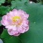 荷花 1050611_10 台北植物園.JPG
