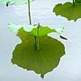 荷花 1050611_12 台北植物園.JPG