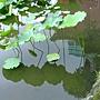 荷花 1050611_14 台北植物園.JPG