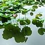 荷花 1050611_15 台北植物園.JPG