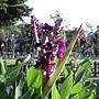 水竹芋 950702_-1 青年公園.jpg