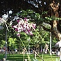 水竹芋 950702_-2 青年公園.jpg