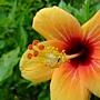 朱槿(彩印) 1050628_3 榮星花園.JPG