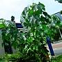 石栗 1050628_1 榮星花園.JPG