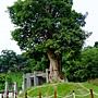 茄苳樹 1050726_2 中和錦和公園.JPG