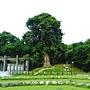 茄苳樹 1050726_1 中和錦和公園.JPG