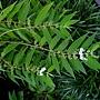 白花細葉紫珠 1050920_4 植物園.JPG