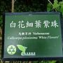 白花細葉紫珠 1050920_5 植物園.JPG