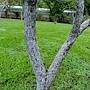 梨樹(水梨) 1051010_09 士林官邸.JPG