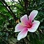 朱槿(月光) 1051103_1 植物園.JPG