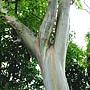 粗皮桉(彩虹桉) 1051103_1 植物園桃金孃科.JPG