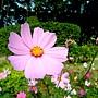 波斯菊 1060105_2 青年公園.JPG